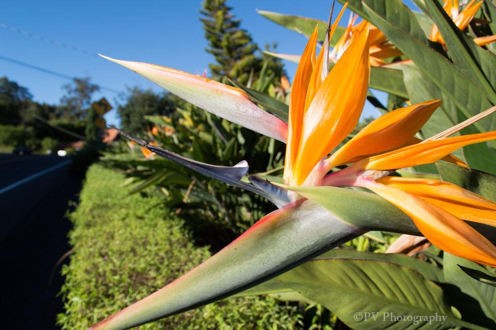 Haleakala-Flowers2