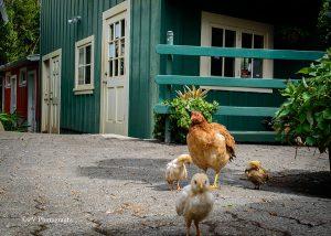 Haleakala-Makawao-Grdn-Chickens
