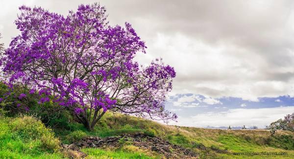 Plan Ahead to Experience the Upcountry Jacaranda