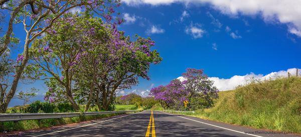 Jacaranda-Tree-Upcountry-Maui